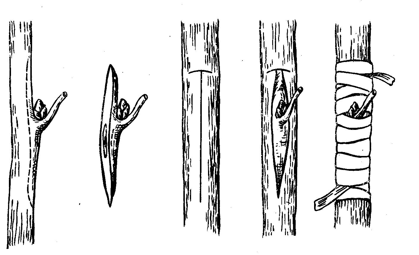 Сад: Блог им. rybakma1: Прививка плодовых деревьев: способы и сроки