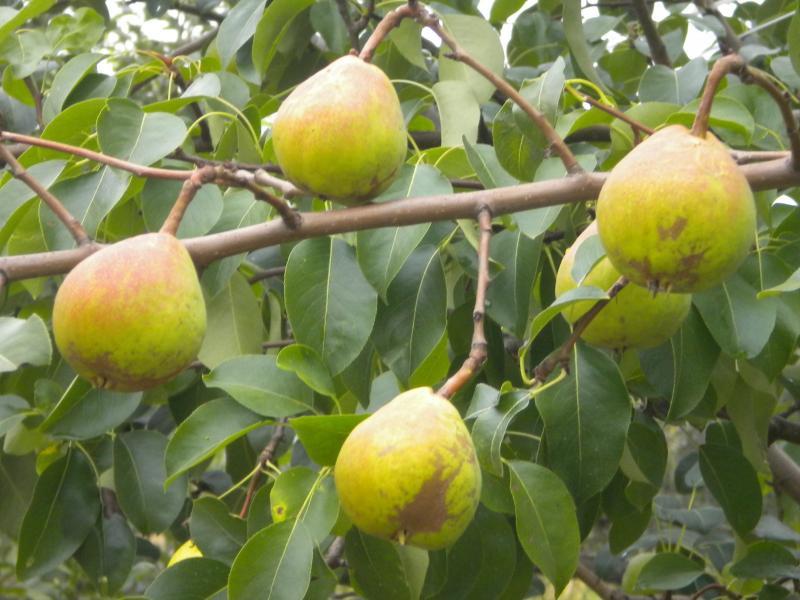 Сад: Сорта груш