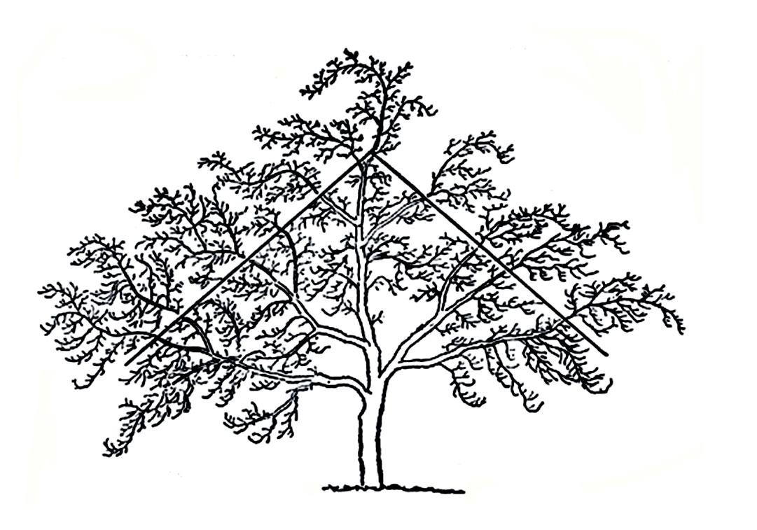 прививка яблонь весной схема