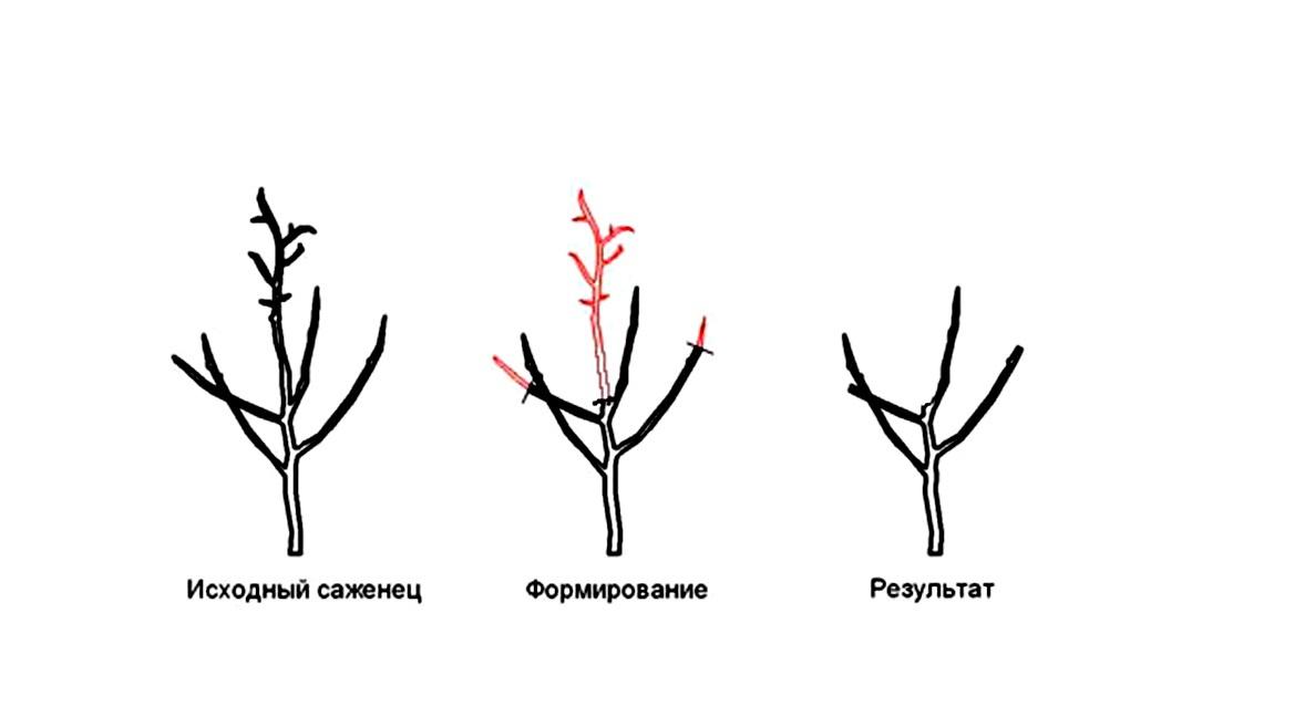 Сад: Как правильно сделать обрезку яблони на вашей даче