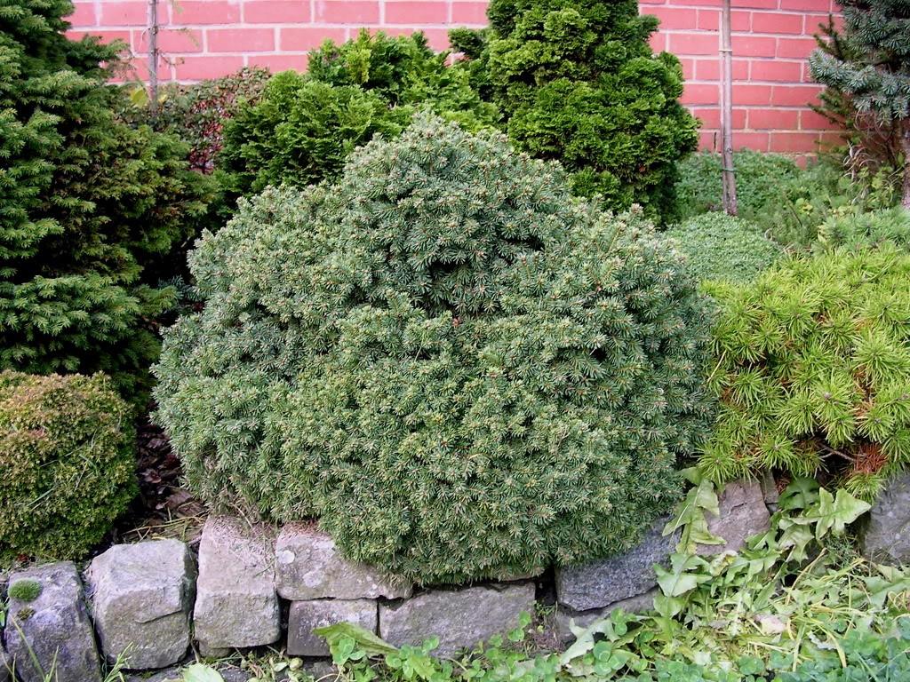 Декоративные растения: Ель: сорта и виды