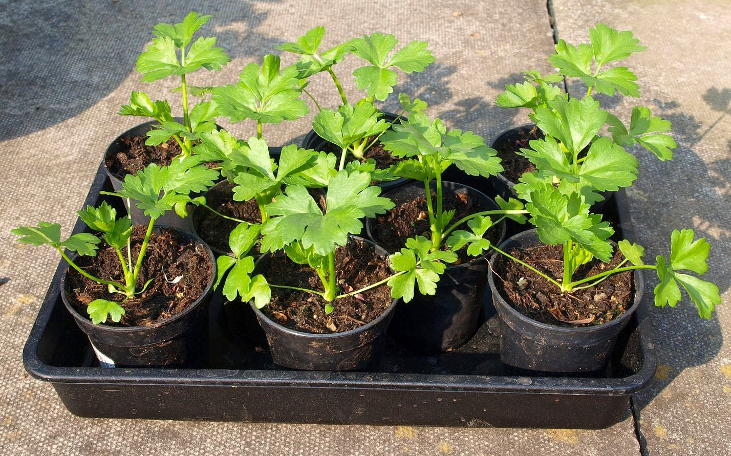 Огород: Сельдерей - выращивание и уход на даче