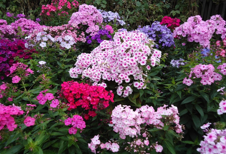 Цветы и клумбы: Флоксы посадка и уход