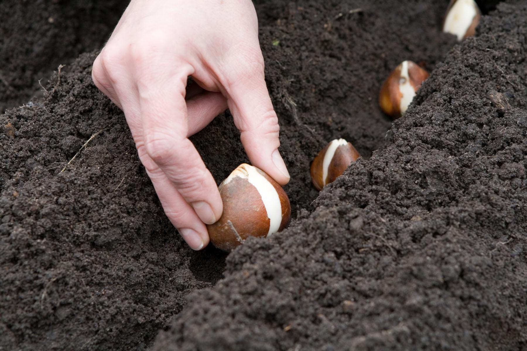 Цветы и клумбы: Как хранить луковицы тюльпанов