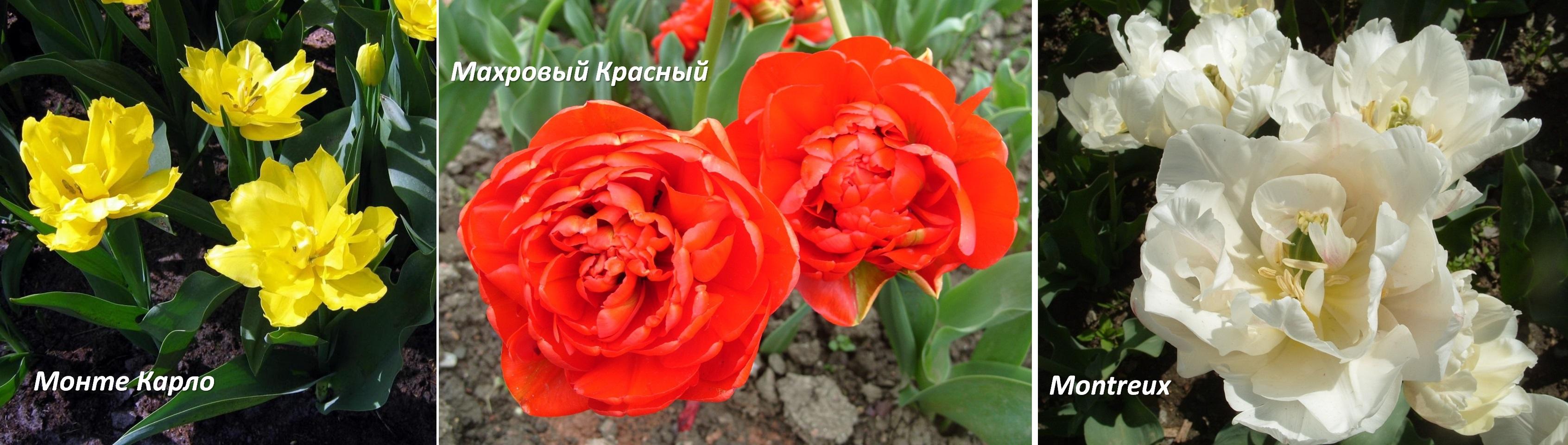 Тюльпаны цветов с названиями 44