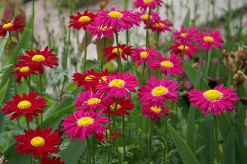 Цветы как ромашки