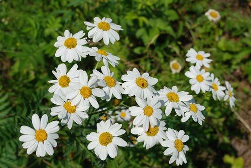 Цветы и клумбы: Как правильно сажать ромашки и ухаживать за ними