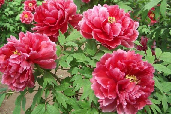 Цветы и клумбы: Посадка пионов на даче и уход за ними