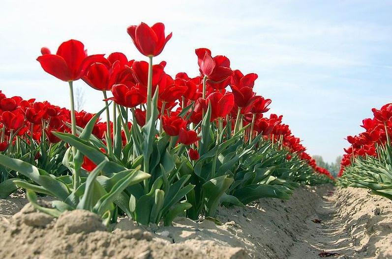 Цветы и клумбы: Выращивание тюльпанов на даче - в теплице и открытом грунте