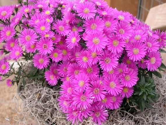 Цветы и клумбы: Низкорослые цветы для клумбы: описание и фото