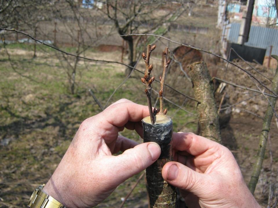 Сад: Как делать прививку яблони