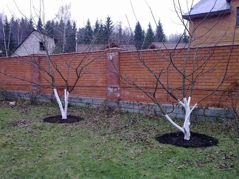 Сад: Как сохранить яблоню зимой