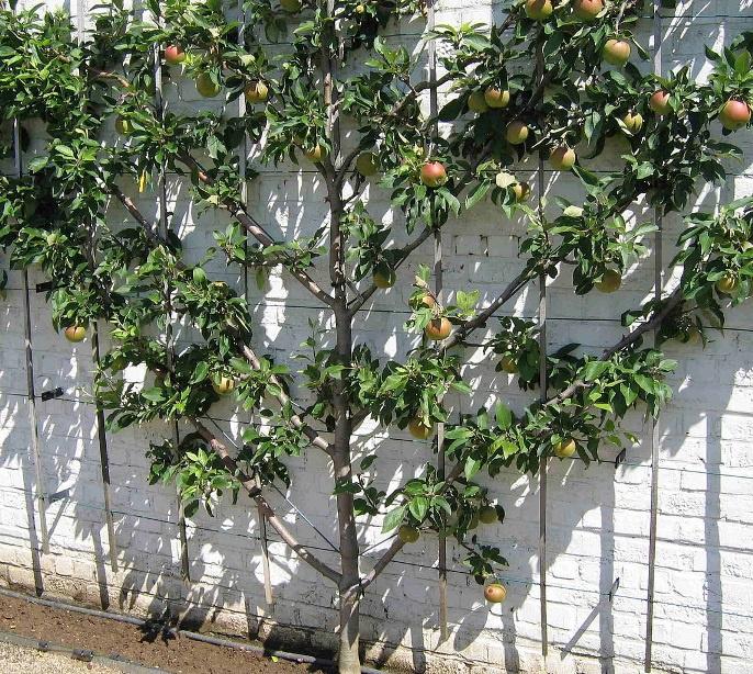 Сад: Как правильно сформировать яблоню
