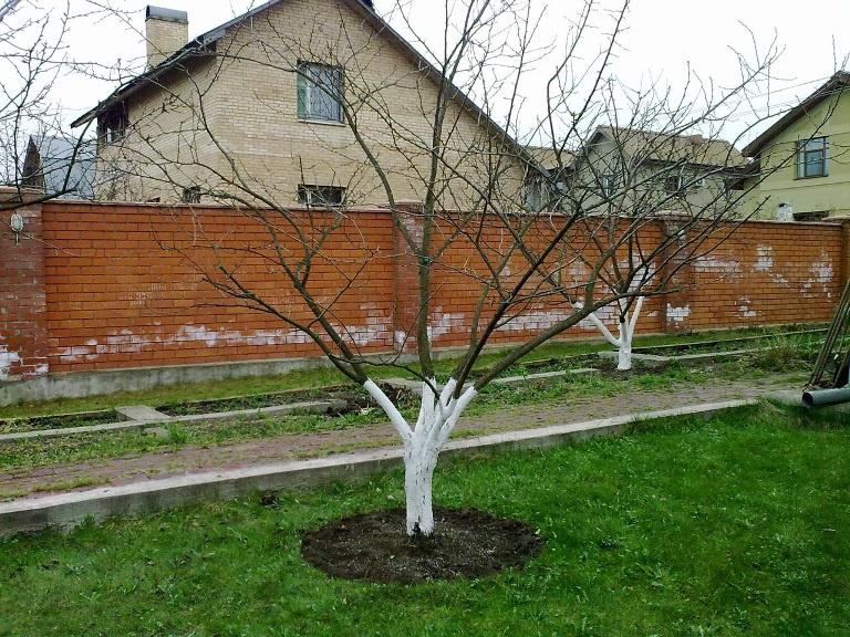 Сад: Как обрезать сливу