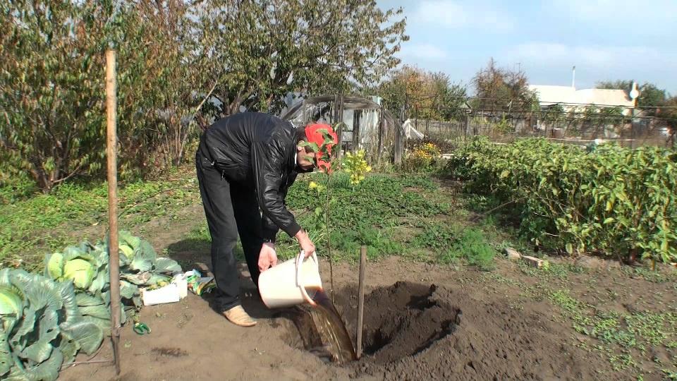 Сад: Как вырастить сливу