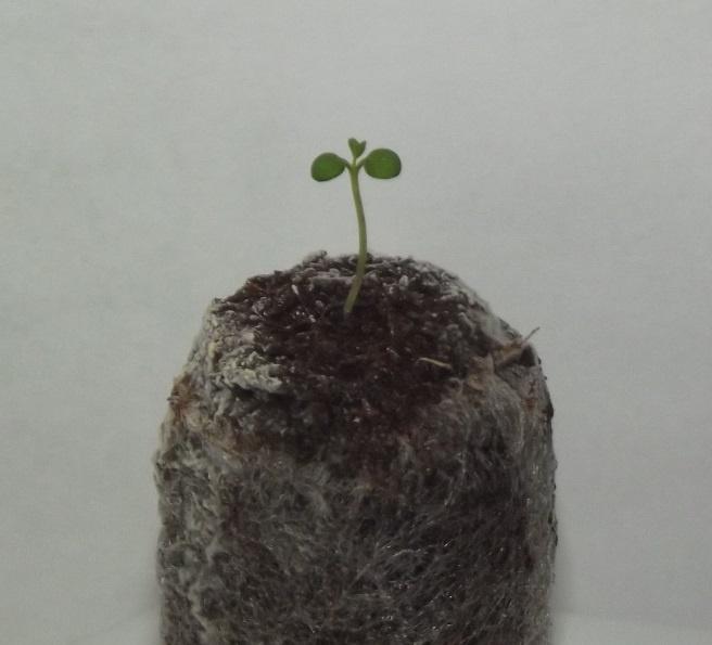 Сад: Как вырастить яблоню дома