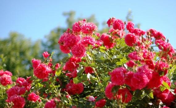 Цветы и клумбы: Как выращивать розы на даче: посадка и уход