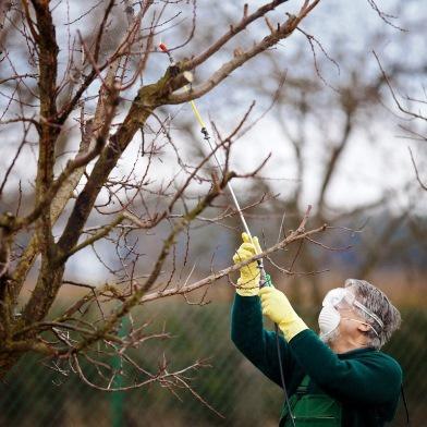 Сад: Как обрабатывать яблони
