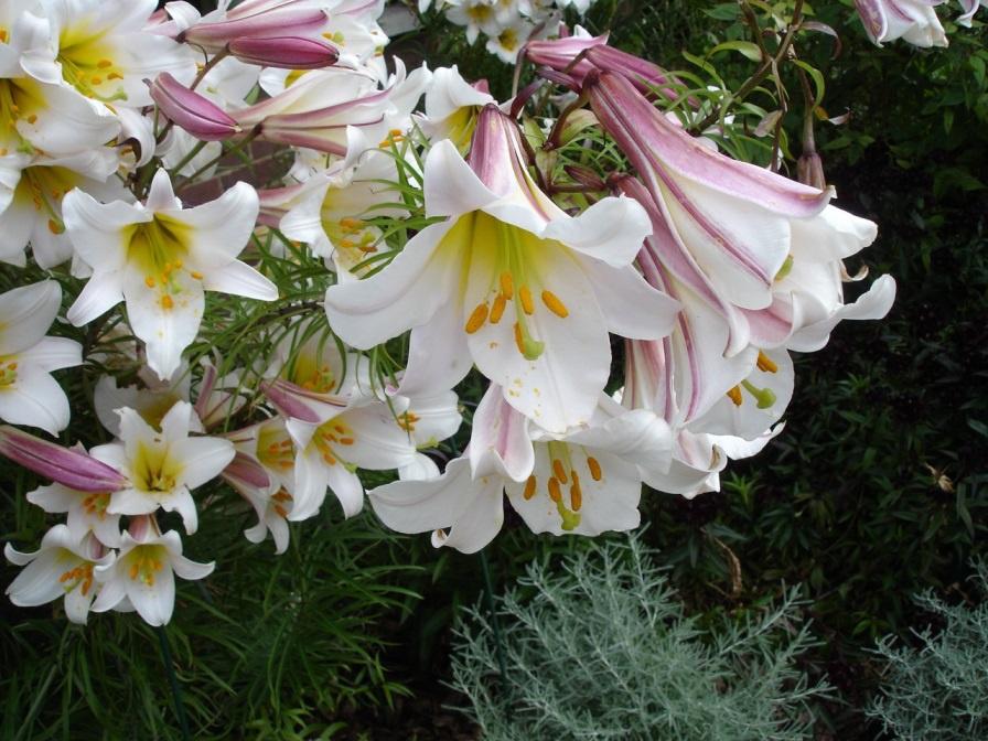Цветы и клумбы: Лилия в саду: посадка и уход