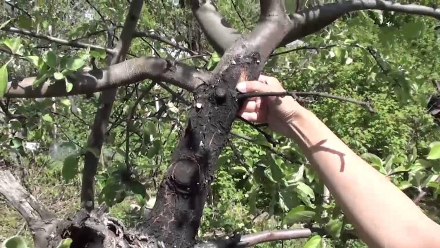 Сад: Как лечить яблоню