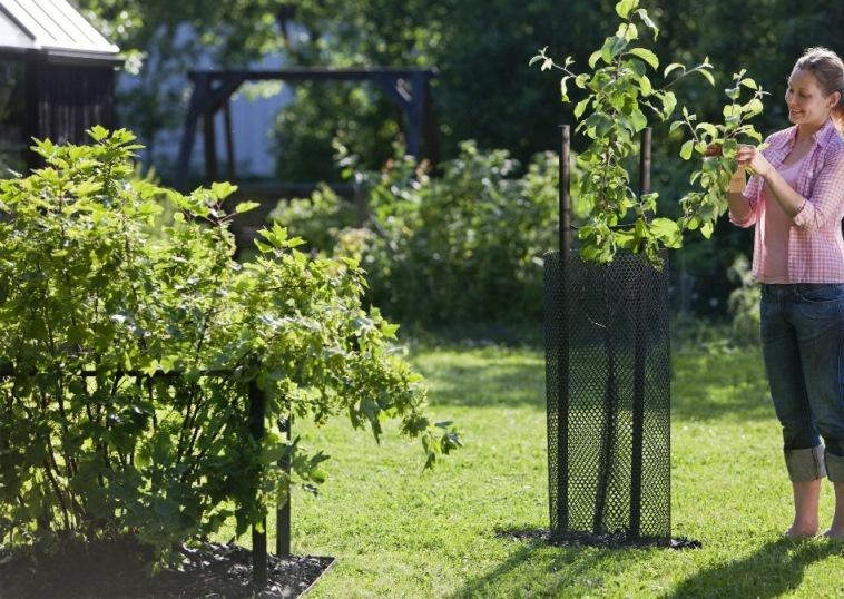 Сад: Как защитить яблоню