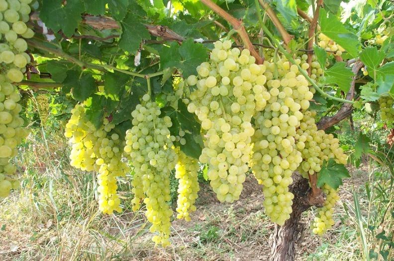 Сад: Правильная обрезка винограда