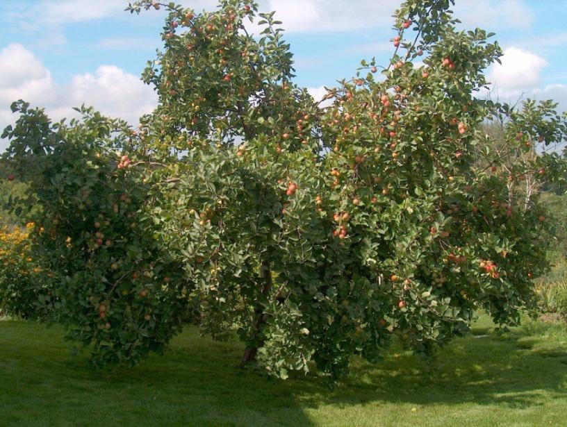 Сад: Как выбрать саженец яблони