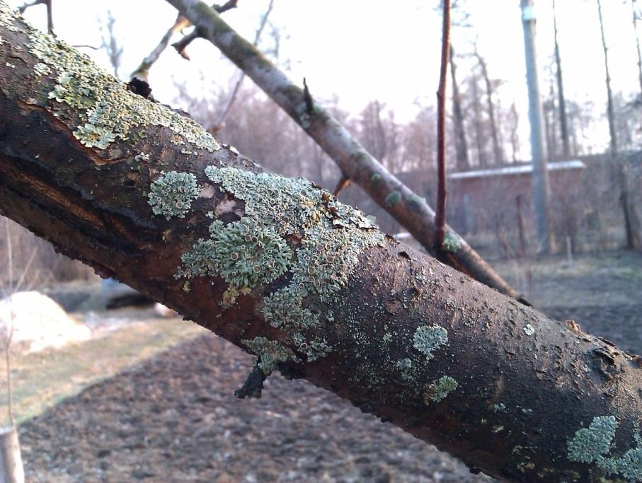 Сад: Болезни фруктовых деревьев