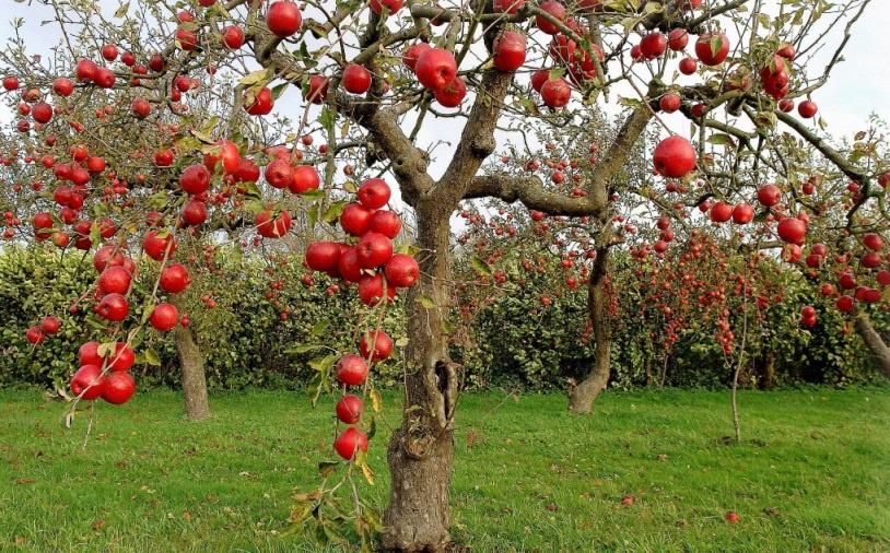 Фруктовые деревья  и названия