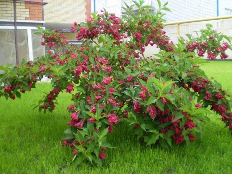 Сад: Кустарники для дачи: описание и фото