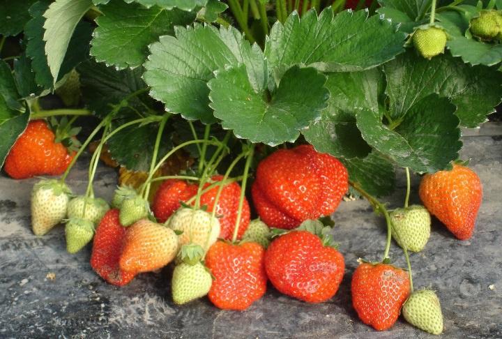 Огород: Посадка клубники, выращивание и уход