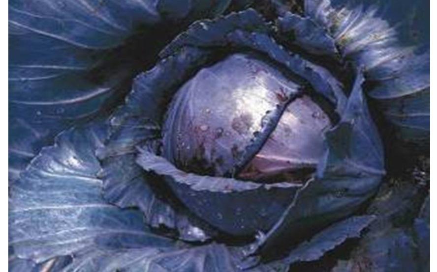 Огород: Выращивание капусты в открытом грунте