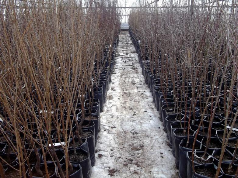 Сад: Прививка плодовых деревьев: способы и сроки