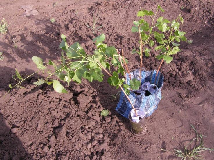 Сад: Виноград на даче: выращивание и уход