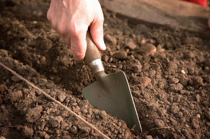 Огород: Технология выращивания редиса