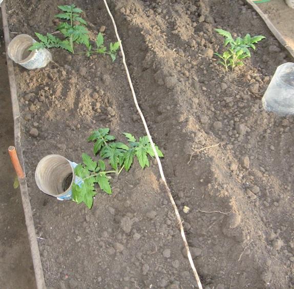 Огород: Выращивание помидоров в открытом грунте