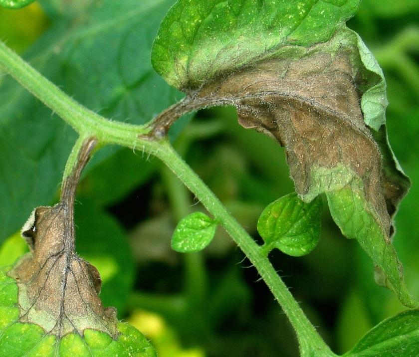 Огород: Как вырастить хороший урожай картофеля
