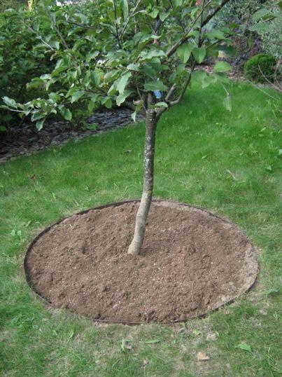 Сад: Как вырастить черешню