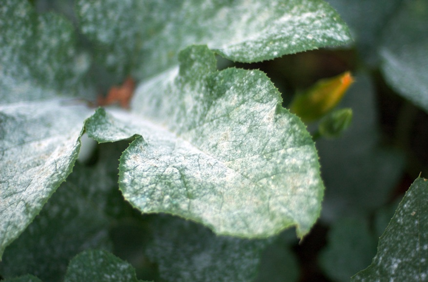 Цветы и клумбы: Как вырастить фиалку на даче