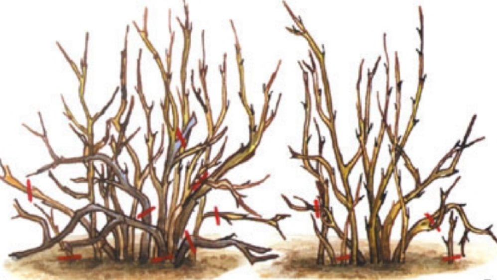 Огород: Посадка крыжовника, выращивание и уход
