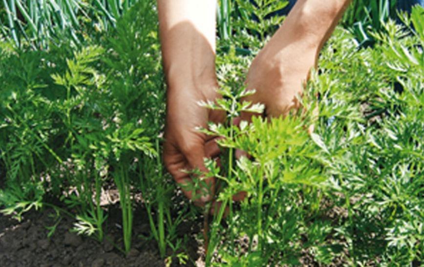 Огород: Как вырастить хорошую морковь