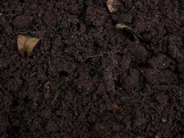 Огород: Выращивание смородины на даче