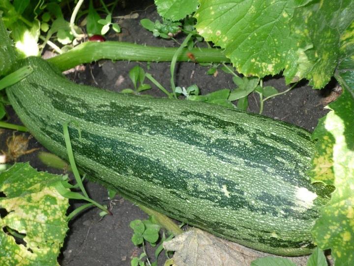 Огород: Выращивание кабачков