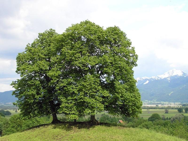 Сад: Как посадить черемуху на даче
