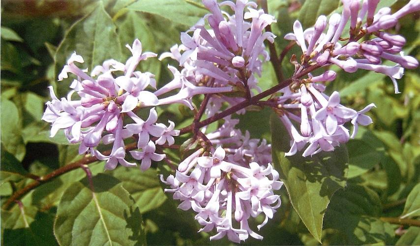 Декоративные растения: Сирень на даче