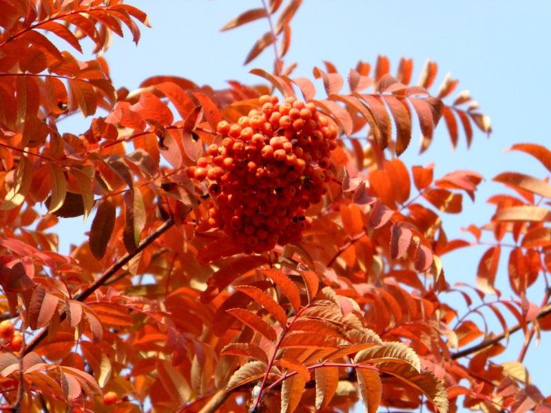 Сад: Сорта рябины, посадка и уход