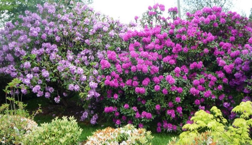 Цветы и клумбы: Рододендрон посадка и уход