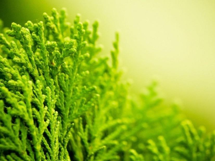 Декоративные растения: Можжевельник посадка и уход