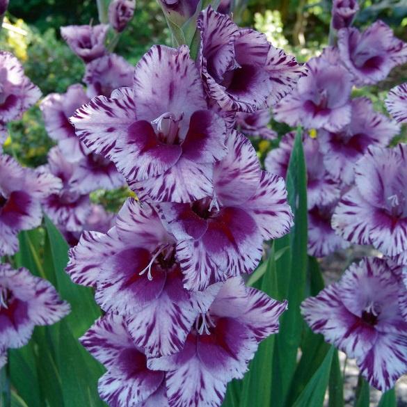 Цветы и клумбы: Выращивание гладиолусов в открытом грунте