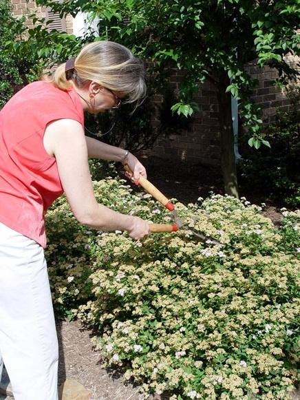 Декоративные растения: Кустарник спирея на вашей даче